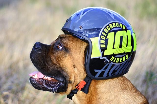 Veľký pes – anglický mastif prilbou na motorku na hlave